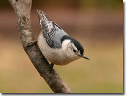 White-breasted Nuthatch - I-Stock Photo