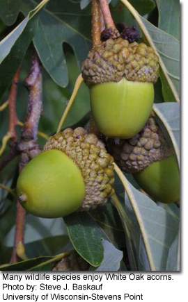 Many wildlife species enjoy White Oak acorns. Photo by: Steve J. Baskauf, University of Wisconsin-Stevens Point