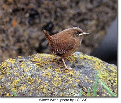 Winter Wren, photo by USFWS