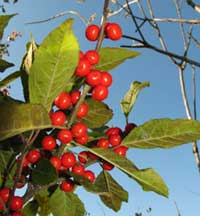 Winterberry holly, photo courtesy of Kerry Wixted