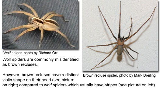 Wolf spider vs brown recluse