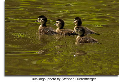 Ducklings, photo by Stephen Durrenberger