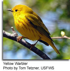 Yellow Warbler, photo by Tom Tetzner, USFWS