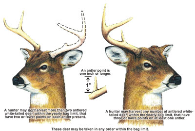 Illustration of antlers defining antlered deer in Maryland