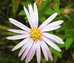 Aster,  photo courtesy of Kerry Wixted