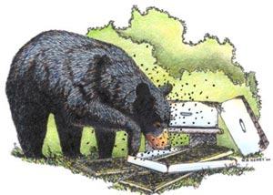 Color illustration by Wade henry of Black Bear eating honey from a bee hive that bear has just destroyed