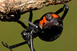 Black widow spider Photo © Richard Schuerger