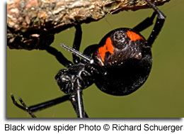 Black widow spider, photo by Richard Schuerger