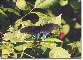 Color photograph of Pipe vine swallowtail on a bush by Anthony Burrows