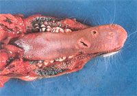 Photograph showing ulcerated tongue of white-tailed deer ulcerated tongue