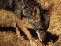 Close-up photo of coyote face