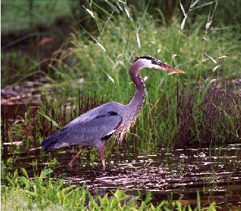 Color photo of Great Blue Heron in wetland