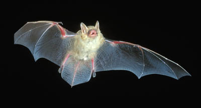 Photo of Eastern Pipistrelle Bat