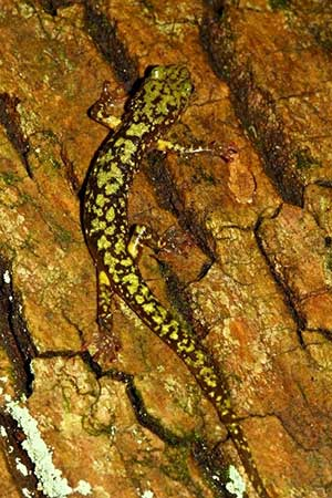 Green Salamander photo by Ed Thompson