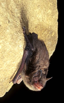 Photo of Indiana Bat