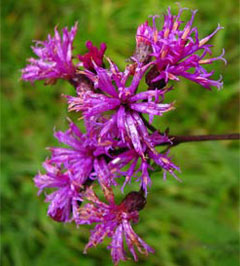 Ironweed,  photo courtesy of Kerry Wixted