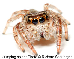 Jumping spider photo by Richard Schuerger