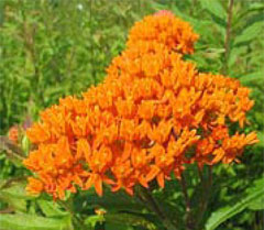 Milkweed,  photo courtesy of Kerry Wixted