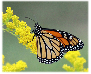 A monarch buterfly on a yellow flower.
