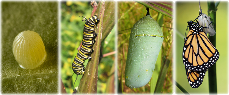 A collage that shows four stages of the monarch lifecycle, egg, caterpillar, chrysalis, and adult.