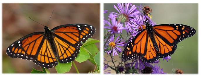 A collage that shows on the left the viceroy and on the right the male monarch.