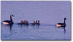 A family of Canada geese swimming across the waters of Mt. Nebo