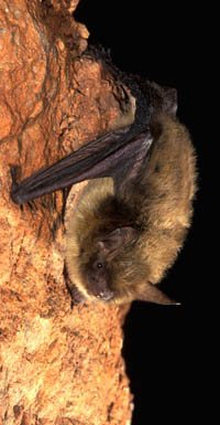 Photo of Northern Long-eared Bat