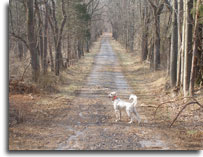Hunting dog stands alert on a dirt road on the Prathers Neck WMA