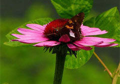 Purple Coneflower,  photo courtesy of Kerry Wixted
