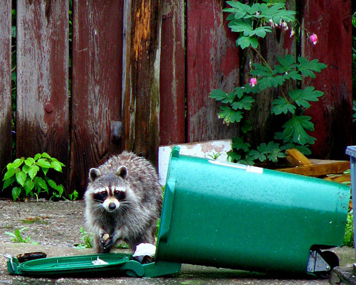 Racoon eating trash out of dumped over trash can.