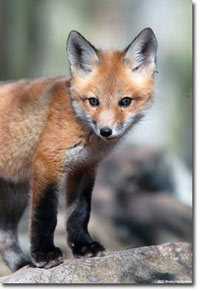 Photograph of red fox pup courtesy of Hal Korber/Pennsylvania Game Commission