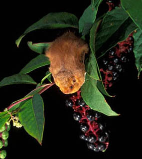 Image of a eastern red bat sitting on a berry branch.