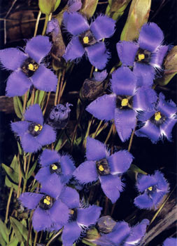 photo of Fringed Gentian