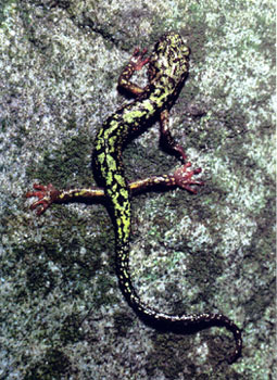 photo of Green salamander