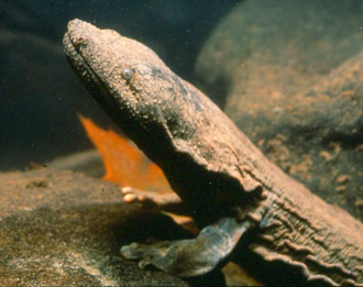 Profile of Hellbender courtesy of Ed Thompson