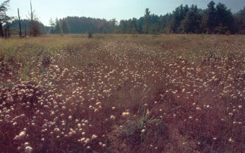 photo of Tawny Cottongrass in a Bog