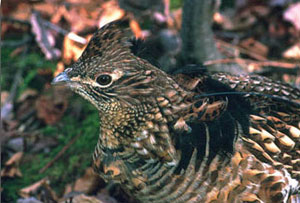 close-up of adult male Ruffed grouse, courtesy of Bob Long