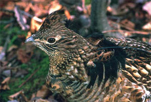 Close-up photo of ruffed grouse