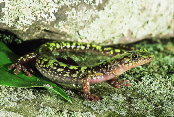 Adult photo of Green Salamander courtesy of Mark Tegges