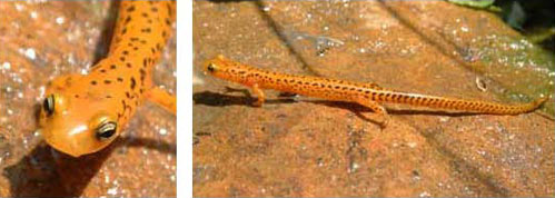 Adult photos of Long-tailed Salamander courtesy of Rebecca Chalmers