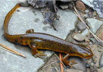 Photo 1: Adult photo of Red-spotted Newt courtesy of Paul Kazyak
