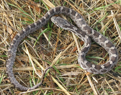 Photo of Juvenile Eastern Ratsnake courtesy of Scott A. Smith