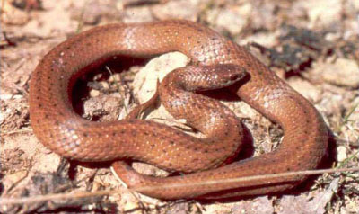 Photo of Adult Mountain Earthsnake courtesy of Don Forester