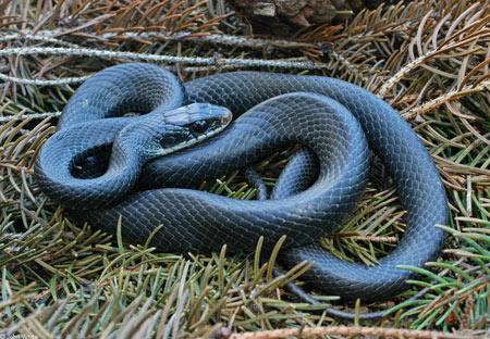 Image result for giant black snake in maryland