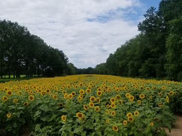 McKee-Beshers WMA Sunflower Field on July 28, 2020