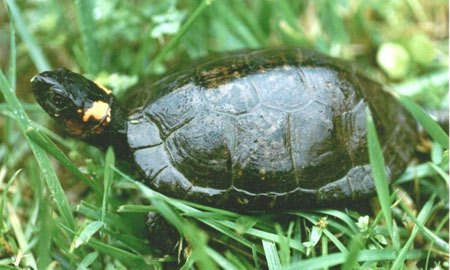Photo of Bog Turtle courtesy of Lori Erb