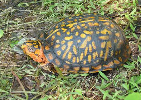 Photo of  Eastern Box Turtle courtesy of Scott A. Smith