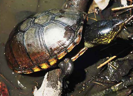 Photo of Eastern Mud Turtle courtesy of Mark Tegges