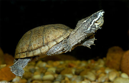 Photo of Eastern Musk Turtle courtesy of John White
