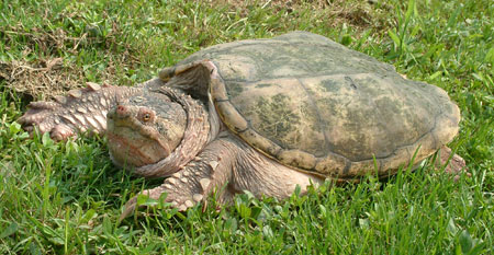 Photo of Eastern Snapping Turtle courtesy of Linh Phu.